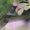 Hummingbirds theme