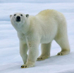 Polar Bears theme