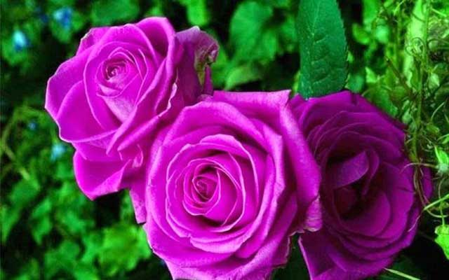 Những bông hoa hồng tím tuyệt đẹp