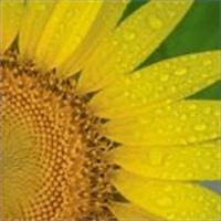 Sunflowers Premium